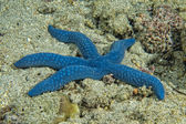 A blue sea star hanging on reef — Stock Photo