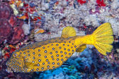 Yellow spotted Box fish underwater portrait — Stock Photo