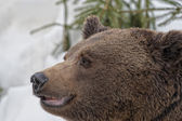 Black bear brown grizzly portrait in the snow while looking at you — Stock Photo