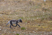 Arctic fox in Svalbard Spitzbergen — Stock Photo