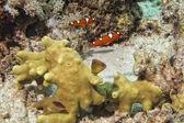Coris arco iris doncellas pescado retrato — Foto de Stock