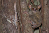 Tarsius small nocturnal monkey — Stock Photo