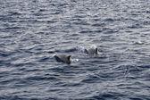 Delfini mentre saltando — Foto Stock