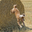 Dog puppy cocker spaniel jumping from wheat — Stock Photo #48846381