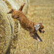 Dog puppy cocker spaniel jumping from wheat — Stock Photo #48846429