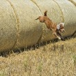 Dog puppy cocker spaniel jumping from wheat — Stock Photo