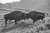 Bison buffel familj solnedgång silhuett i svart och vitt — Stockfoto