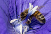 Bee collecting pollen inside a flower — Stock Photo