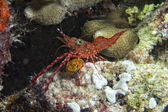 Shrimp on soft coral — Stock Photo