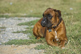 Dog boxer young puppy while sitting on green grass — Foto Stock