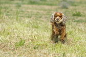 Happy Dog English cocker spaniel while running to you — Stock Photo