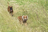 Dogs while fighting on the grass — Stock Photo