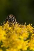 Včela při sání pylu — Stock fotografie