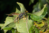 Wasp looking at you on green leaf — Stock Photo