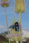 Black hornet while sucking pollen — Stock Photo