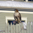 Stock Photo: Hawk seating on fence
