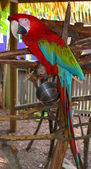 Parrot Red blue macaw — Stock Photo
