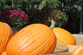 Big beautiful pumpkin — Stok fotoğraf