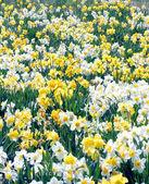Daffodil field — Stock Photo