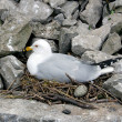 Gull in nest — Stock Photo
