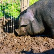 Pig in the mud — Stock fotografie