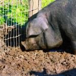 maiale nel fango — Foto Stock