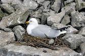 Gull in nest — Stockfoto
