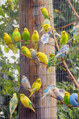Parakeets in the cage — Stock Photo