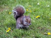 Esquilo bonito no gramado verde — Foto Stock