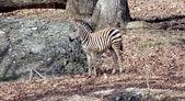 Zebra baby — Stockfoto