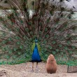Funny prairie dog looking at the peacock with open tail — Stock Photo