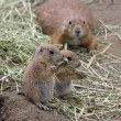 Two adorable black tailed prairie dog puppies eating grass — Stock Photo #42894789
