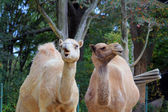 Portrait of two funny camels — Stock Photo