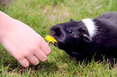 Girl feeding a funny black and wight Guinea pig — Stock Photo