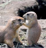 Adorable Black tailed Prairie Dog Welpen seine Mutter auf Nase küssen. — Stockfoto