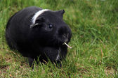 Funny black and wight Guinea pig with a piece of flower stem in her mouth — Stock Photo