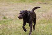 Labrador Retriever in the hunt — Stock Photo