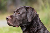 Portrait of a Labrador retriever outdoors — Stock Photo