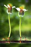 Formiga de tecelão com flor — Fotografia Stock