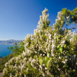 Flowered heather on the coastline - Stock Photo