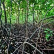 Mangrove forest — Stock Photo #18048111