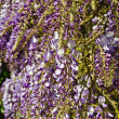 Wisteria blooming - Stock Photo
