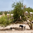 Goats eating argan fruits, Morocco, Essaouira - Stock Photo