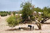 Goats eating argan fruits, Morocco, Essaouira — Stock Photo