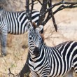 Two zebras looking to the same side — Stock Photo