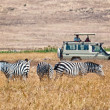 Постер, плакат: Tourists wathing zebras eating
