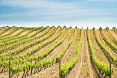 France, vineyard — Stock Photo