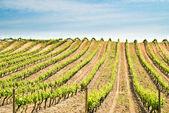 France, vineyard — Stock Photo