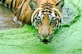 тигр в дождь — Стоковое фото