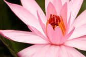 Lotus flower — Foto de Stock